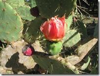 Mljet_kaktus